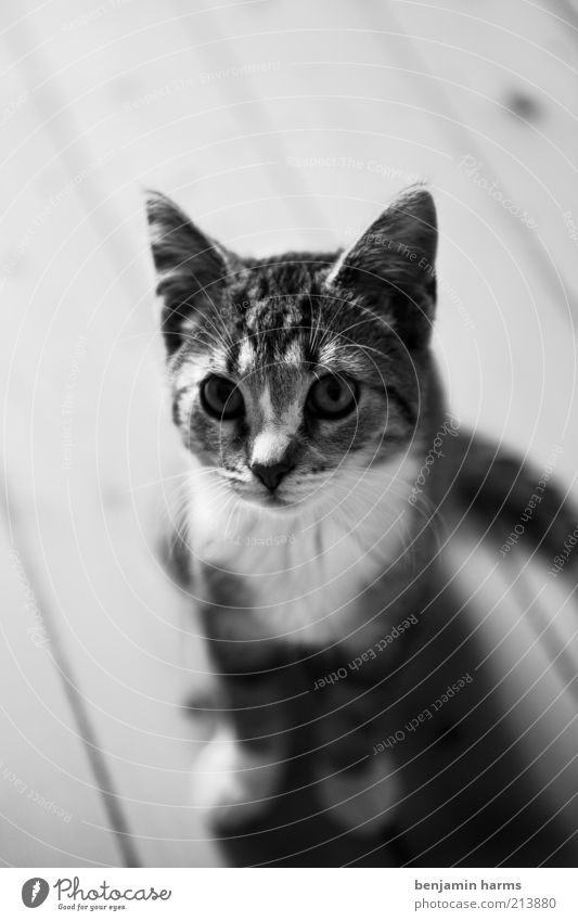 Animal Cat Small Sit Cute Black & white photo Pet Cuddly Crouch Wooden floor Looking Baby animal