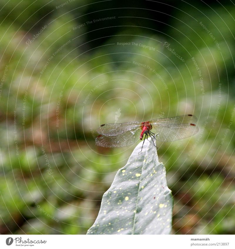 On the launch pad Animal Wing Dragonfly Dragonfly wings Free Small Red Leaf Bushes Aviation Hover Delicate Insect Colour photo Nature Copy Space top