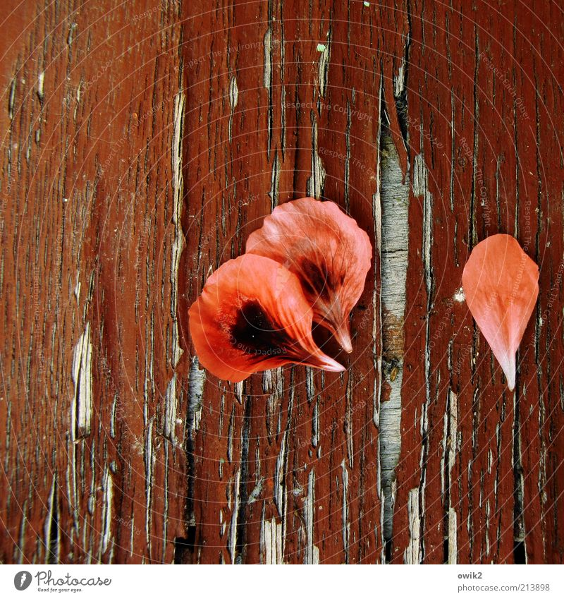 Old Plant Red Blossom Wood Dye Elegant Change Transience Material Crack & Rip & Tear Lose Wood grain Faded Blossom leave