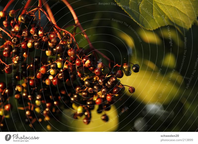 Nature Green Plant Red Black Nutrition Autumn Moody Healthy Food Environment Fruit Esthetic Sweet Bushes Good