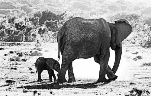 worth protecting Vacation & Travel Tourism Trip Adventure Far-off places Freedom Safari Wild animal Elephant 2 Animal Baby animal Animal family Exceptional