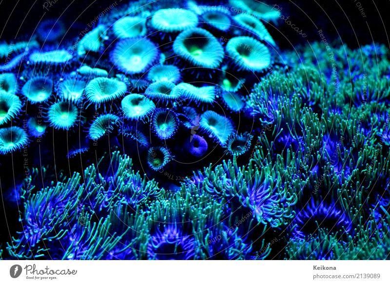 Cobalt blue coral polyps in aquarium. Environment Nature Plant Water Flower Leaf Exotic Ocean Island Zoo Aquarium Swimming & Bathing Dive Wet Blue Green Black
