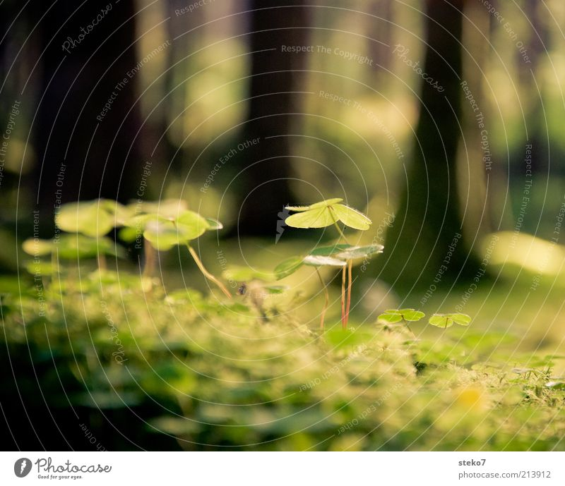 about the clover Plant Beautiful weather Foliage plant Green Nature Cloverleaf Woodground Shaft of light Delicate Colour photo Macro (Extreme close-up) Deserted