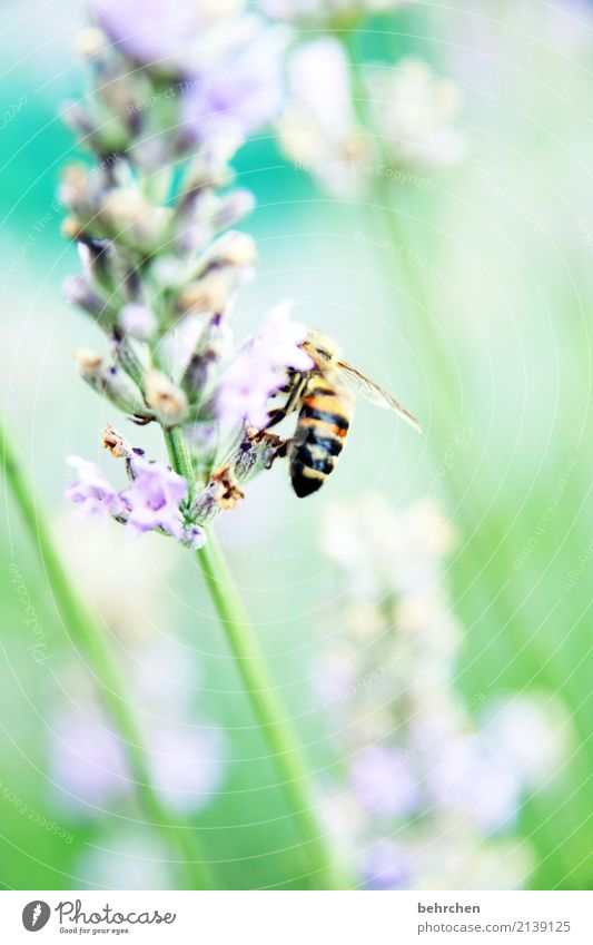 summer-coloured Nature Plant Animal Summer Beautiful weather Flower Leaf Blossom Lavender Garden Park Meadow Wild animal Bee Wing 1 Blossoming Fragrance Flying