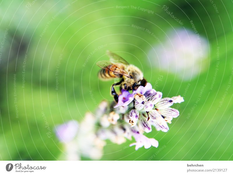 We're gonna be out of here if we're not careful. Nature Plant Animal Summer Flower Blossom Lavender Garden Park Meadow Wild animal Bee Wing 1 Blossoming