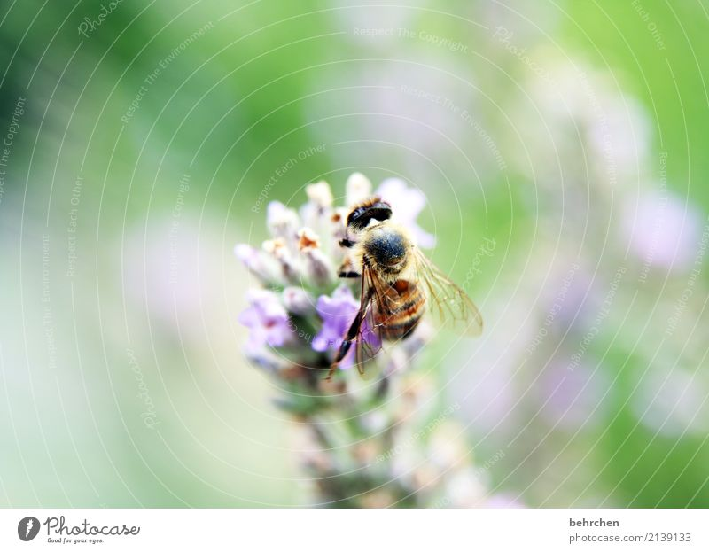capture the summer Nature Plant Animal Summer Beautiful weather Flower Leaf Blossom Lavender Garden Park Meadow Wild animal Bee Animal face Wing 1 Blossoming