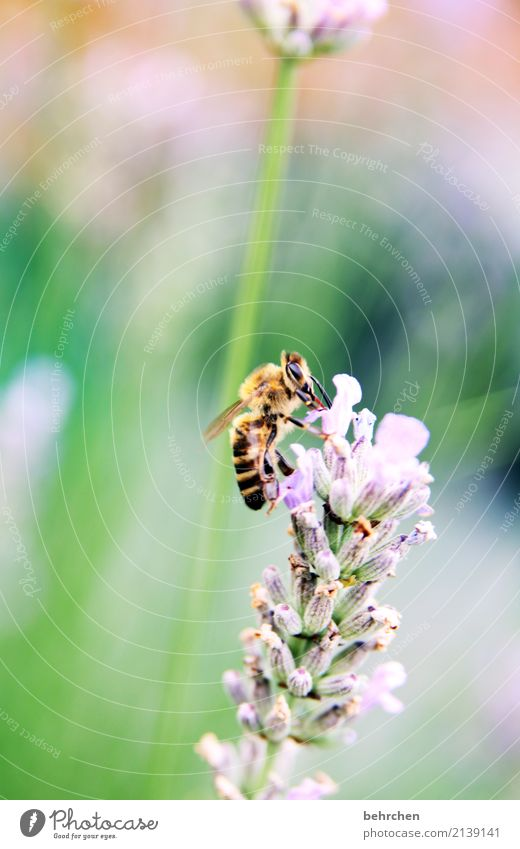 lavender summer Nature Plant Animal Summer Beautiful weather Flower Leaf Blossom Lavender Garden Park Meadow Wild animal Bee Animal face Wing 1 Blossoming