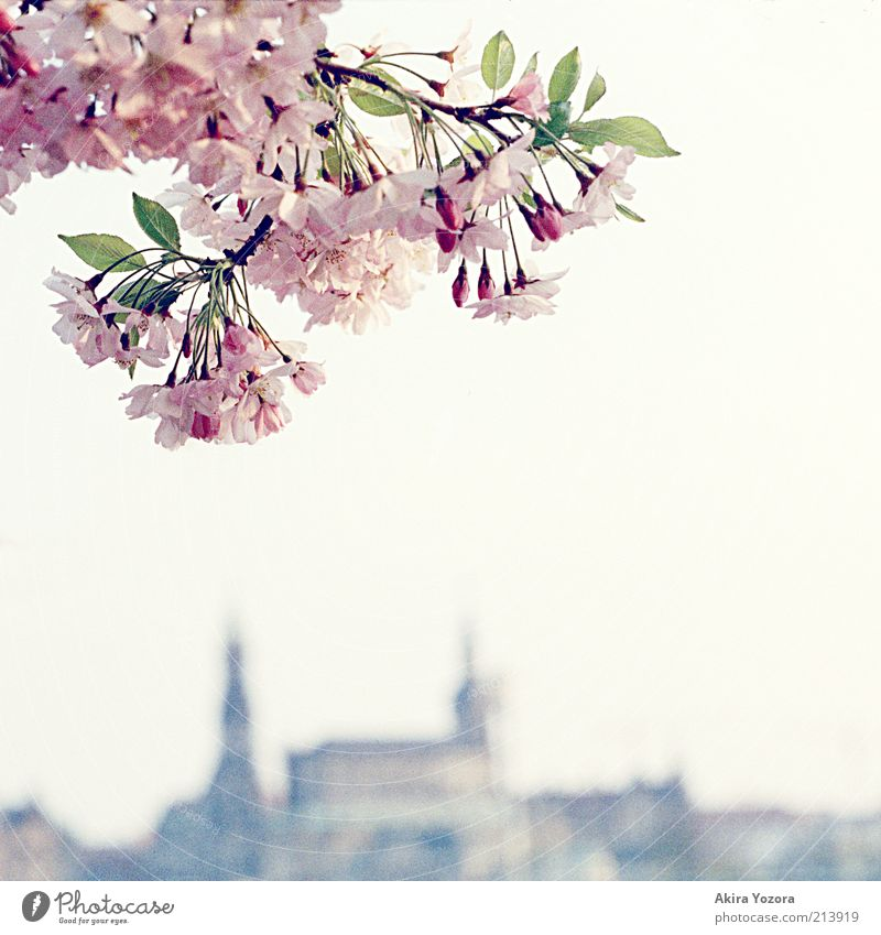 The last greeting Nature Plant Sky Cloudless sky Spring Beautiful weather Tree Leaf Blossom Cherry tree Cherry blossom Dresden Town Capital city Old town