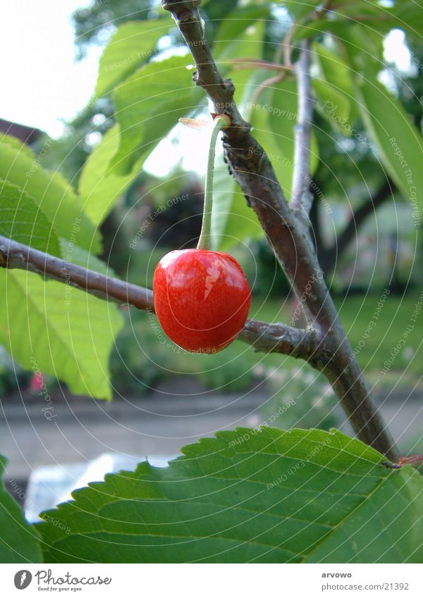 Leaf Fruit Cherry Focal distance Normal focal distance