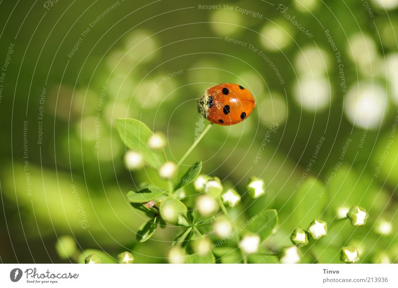 Lucky Beetle Day Plant Leaf Blossom 1 Animal Happy Green Red Black White Spring fever Optimism Sympathy Love of animals Ladybird Colour photo Exterior shot