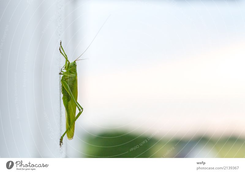 Grasshopper sits on a white wall Macro Animal Green grasshopper gomphocerinae House cricket Wall (building) Insect Locust Locusts Plagues fright Close-up