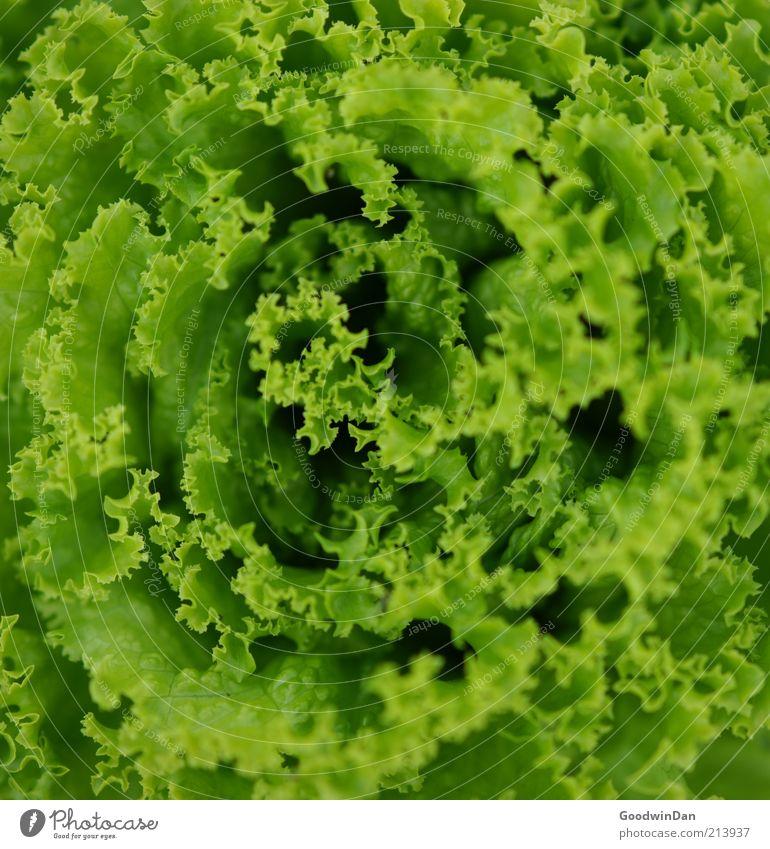Green Nutrition Healthy Food Fresh Near Simple Vegetable Organic produce Lettuce Salad leaf