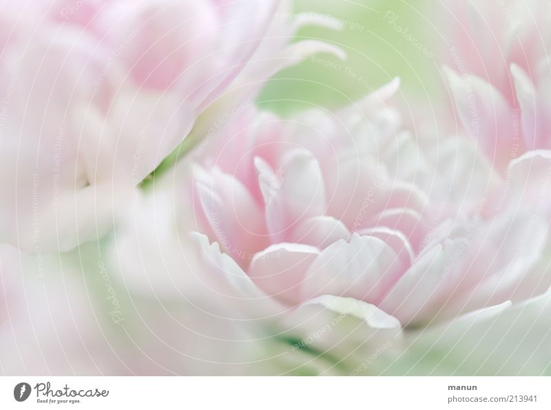 Nature Beautiful Flower Plant Blossom Bright Pink Elegant Fresh Esthetic Soft Pure Fantastic Delicate Exceptional Blossoming