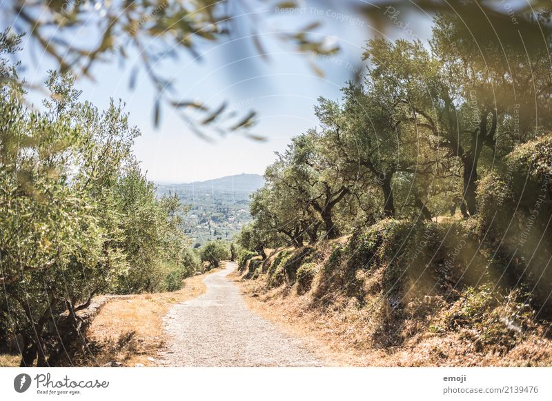 olive grove Environment Nature Landscape Plant Summer Beautiful weather Warmth Tree Forest Natural Green Olive grove Olive tree Zakynthos Colour photo
