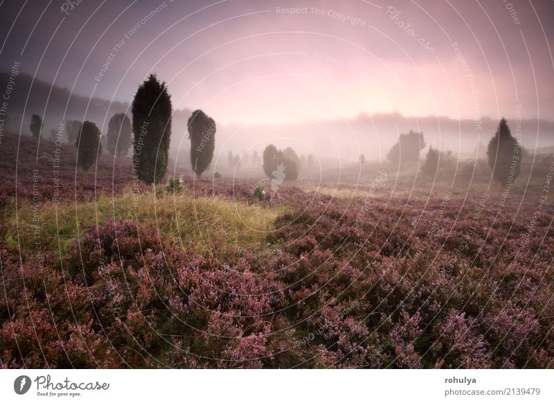 beautiful foggy sunrise on pink blossoming hills Summer Nature Landscape Plant Sunrise Sunset Beautiful weather Fog Tree Flower Blossom Meadow Forest Hill