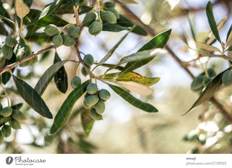 olives Environment Nature Plant Summer Tree Natural Green Olive tree Colour photo Exterior shot Detail Macro (Extreme close-up) Deserted Day