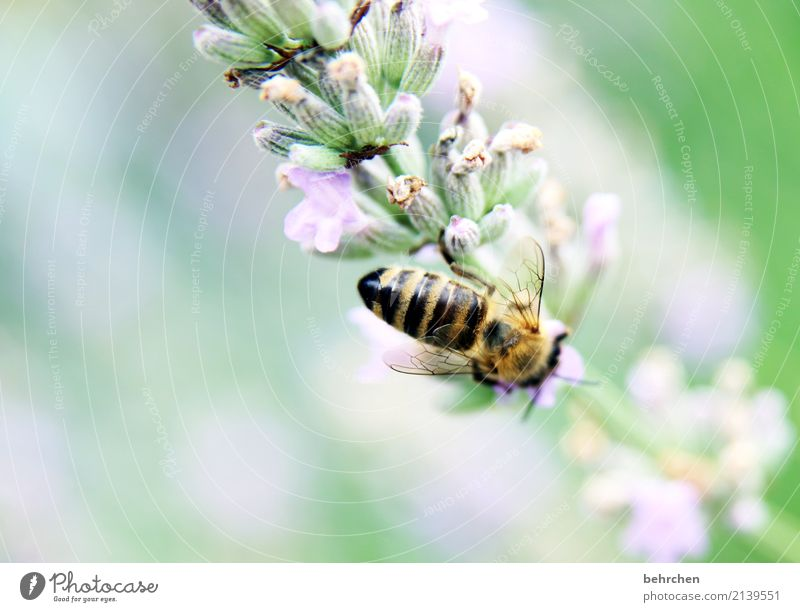 be industrious... Nature Plant Animal Summer Beautiful weather Flower Leaf Blossom Lavender Garden Park Meadow Wild animal Bee Wing 1 Blossoming Fragrance