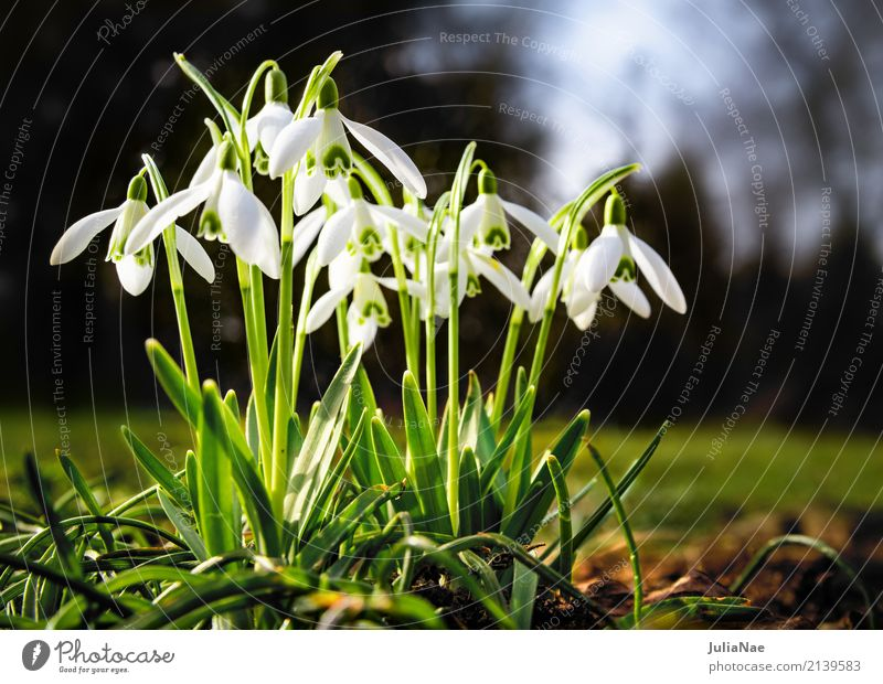 snowdrops Snowdrop Spring Spring flowering plant Flower Plant White Illuminate galanthus nival Meadow group Small blossom snow drops Garden Green
