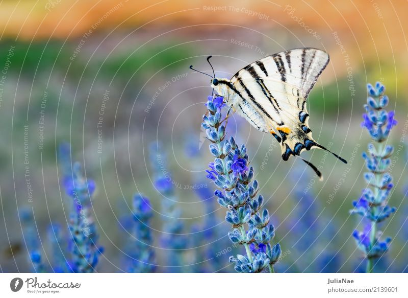 Swallowtail on a lavender blossom Blossom Butterfly Large Yellow White machaon Lavender sail butterfly Insect Beige Colour photo Multicoloured Exterior shot