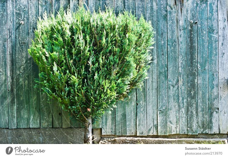 Y Tree Garden Stand Growth Coniferous trees Garden fence Ornamental plant Wall (barrier) Plant Loneliness Decoration Wooden board Colour photo Abstract