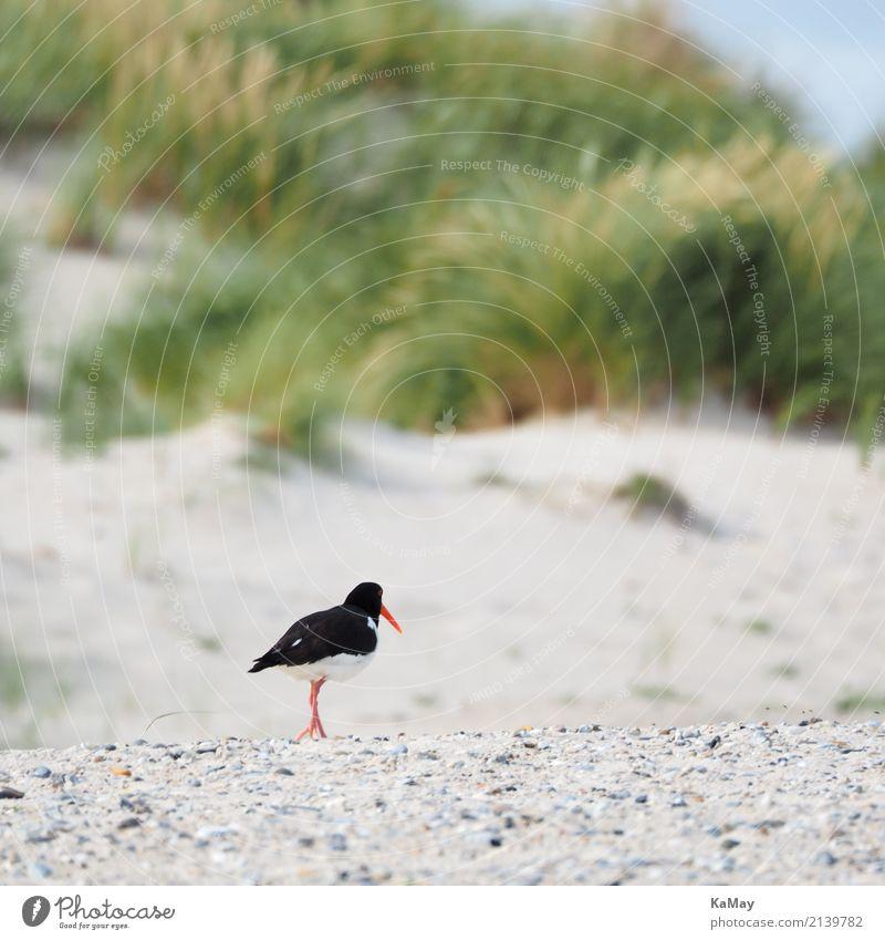 alone on the beach Summer Beach Landscape Animal Sand Island Helgoland Dune Wild animal Bird Oyster catcher Wader Auks Running Movement Going Walking Green Red