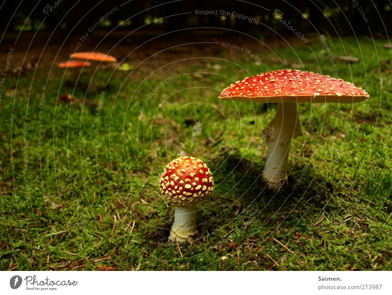 Nature Forest Environment Grass Natural Moody Earth Risk Moss Mushroom Spotted Woodground Mushroom cap Enchanted forest Amanita mushroom Complementary colour