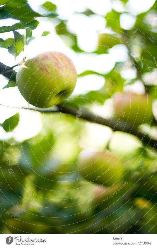 apple season Food Fruit Apple Nutrition Organic produce Environment Nature Plant Sunlight Summer Autumn Beautiful weather Tree Leaf Foliage plant