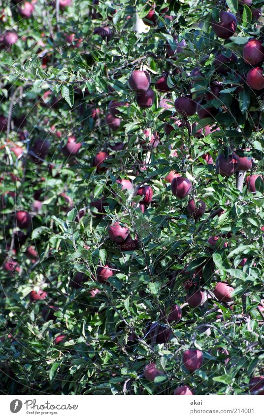 apple harvest Food Apple Nutrition Organic produce Summer Plant Tree Leaf Agricultural crop Garden Hang Growth Juicy Violet Red Red Delicious Colour photo