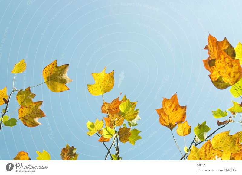 Sky Nature Blue Tree Plant Leaf Calm Yellow Autumn Air Illuminate Elements Change Beautiful weather Seasons Autumn leaves