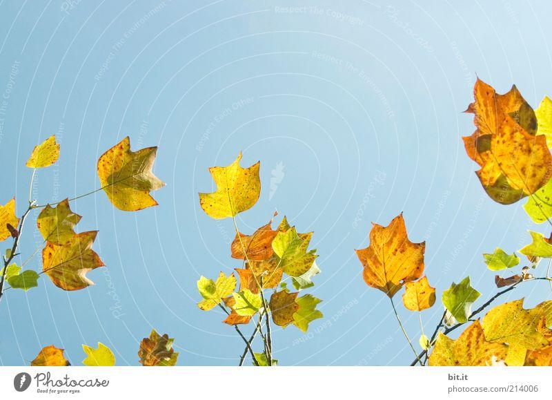 Sky Nature Blue Tree Plant Leaf Calm Yellow Autumn Air Illuminate Elements Change Beautiful weather Seasons Autumn leaves
