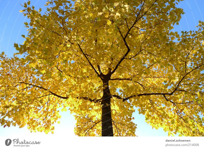 even autumn Environment Nature Cloudless sky Autumn Climate Beautiful weather Tree Blue Yellow Seasons Shadow Sunlight Worm's-eye view Autumnal Autumn leaves