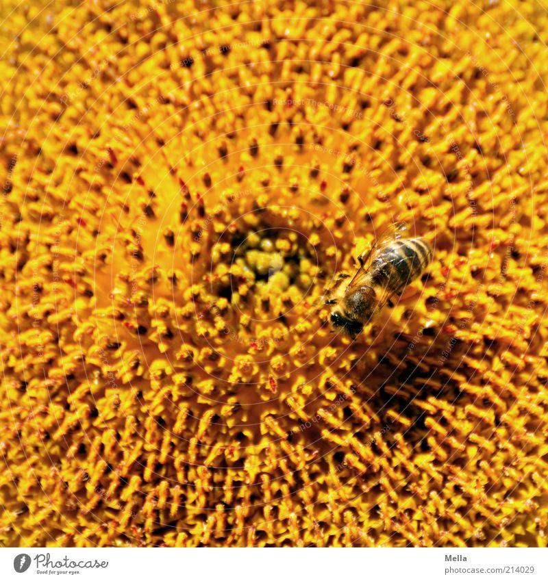 Nature Flower Plant Summer Animal Yellow Colour Blossom Environment Natural Bee Sunflower Positive Pollen Honey Diligent
