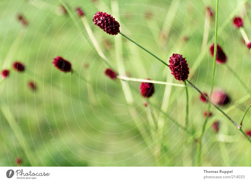 red and green Nature Plant Spring Summer Flower Grass Bushes Leaf Blossom Foliage plant Agricultural crop Meadow Beautiful Natural Green Red