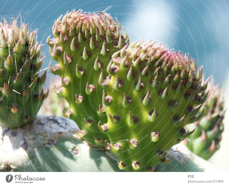Green Blue Italy Cactus Thorn