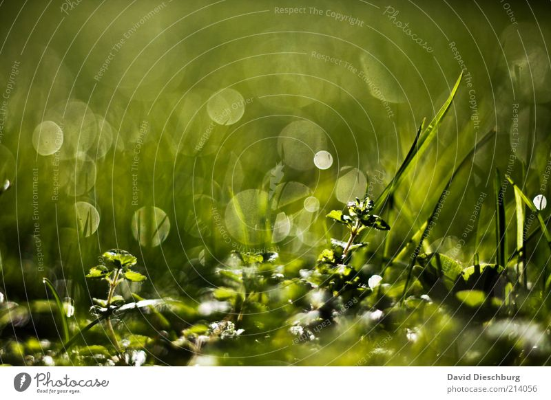 Tau-o'clock Nature Plant Water Drops of water Spring Summer Grass Foliage plant Green Glittering Structures and shapes Grass tip Dew Wet Damp Colour photo