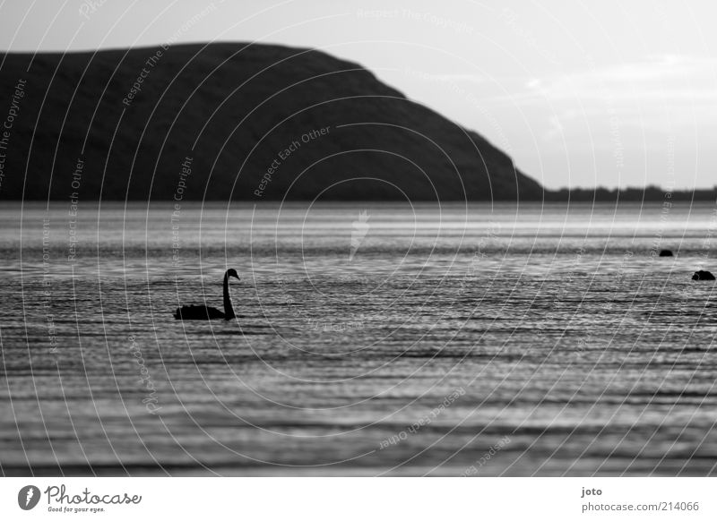 Searching Nature Landscape Animal Water Mountain Lake Swan Esthetic Elegant Beautiful Calm Loneliness Freedom Life Peace Bird Dark Black & white photo