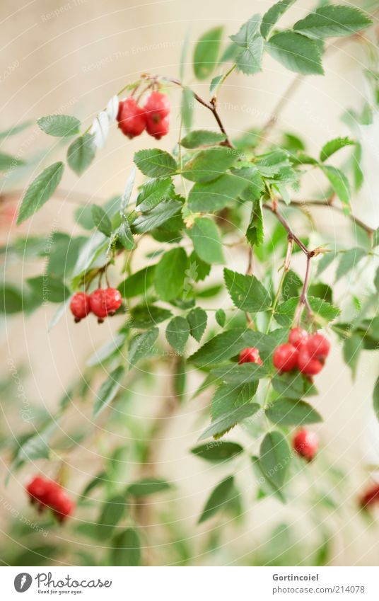 Pink canina Environment Nature Autumn Plant Bushes Leaf Green Red Rose hip Autumnal Dog rose Fruit Berry bushes Berries Colour photo Exterior shot