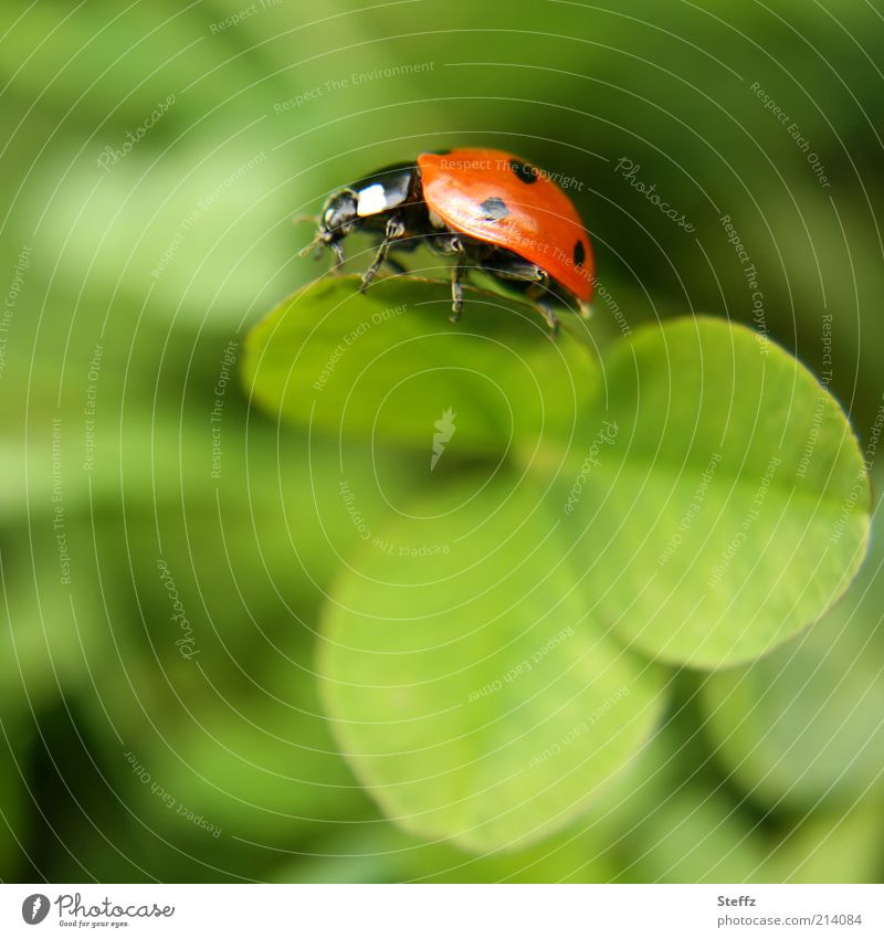 one wish free Nature Plant Animal Summer Ladybird Beetle Leg of a beetle Insect Clover Cloverleaf 1 Happy Congratulations Four-leafed clover Good luck charm
