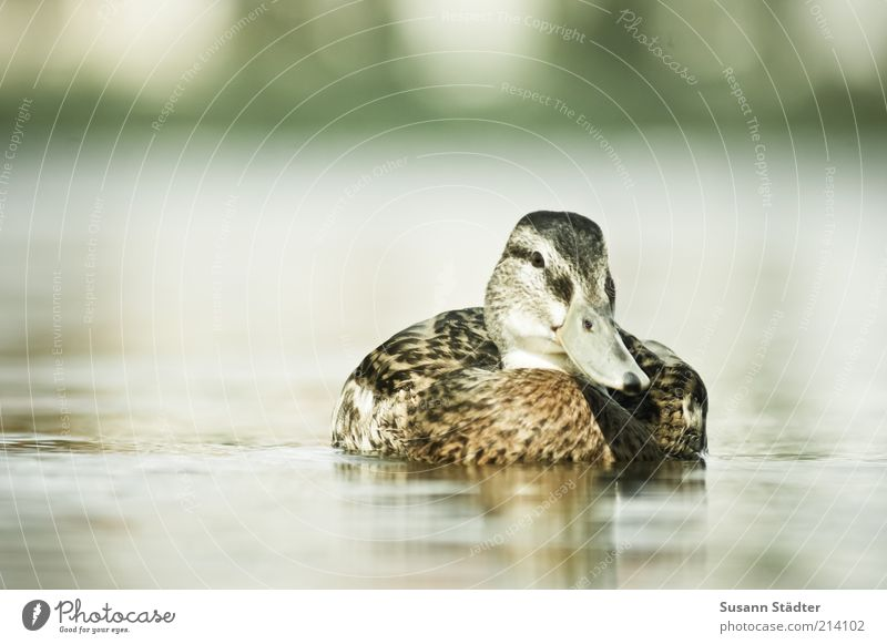 Duck good, all good Animal Wild animal Bird Animal face Lake Coast Reflection Smoothness Waveless Drake Loneliness Summery Colour photo Experimental