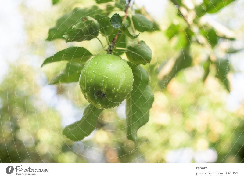 Green apple Fruit Apple Eating Summer Garden Nature Plant Autumn Tree Leaf Drop Growth Delicious Natural Juicy Colour orchard branch Harvest ripe healthy