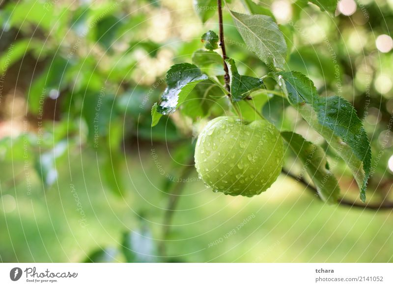 One green apple Fruit Apple Eating Summer Garden Nature Plant Autumn Drop Growth Fresh Delicious Natural Juicy Green Red Colour orchard branch Harvest ripe