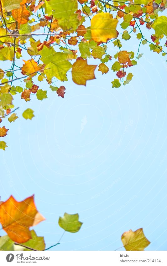 Nature Sky Blue Plant Leaf Yellow Autumn Background picture Gold Transience Branch Card Seasons Twig Frame Blue sky