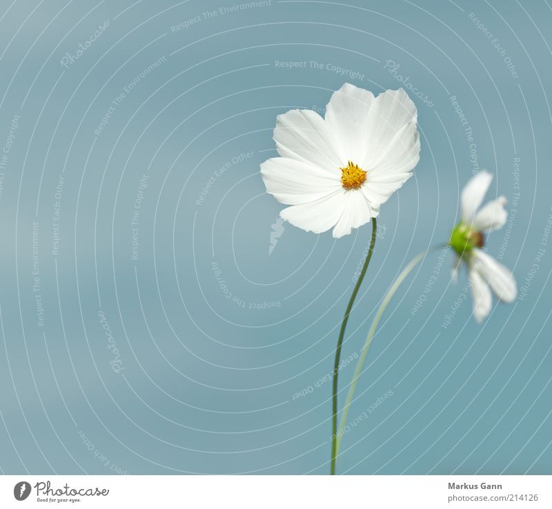 Nature White Flower Plant Summer Loneliness Yellow Gray Simple Delicate Stalk Botany Science & Research Aster Cosmos