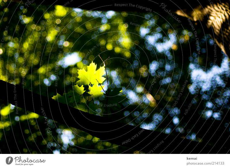 Sheet in Spotlight Environment Nature Plant Sunlight Summer Beautiful weather Tree Foliage plant Wild plant Maple tree Maple leaf Illuminate Growth Bright Green