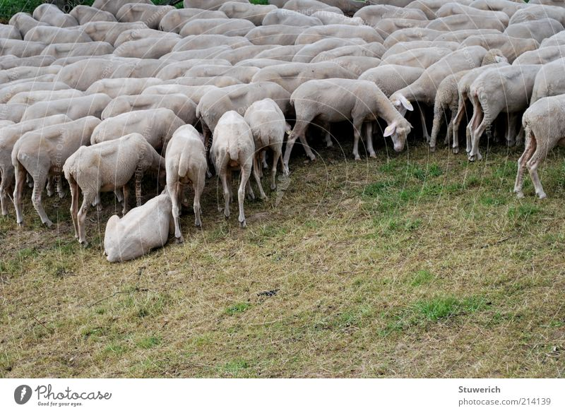Grass Landscape Moody Esthetic Gloomy Lawn Stand Lie Many Sheep To feed Animal Drought Herd Foliage plant Farm animal