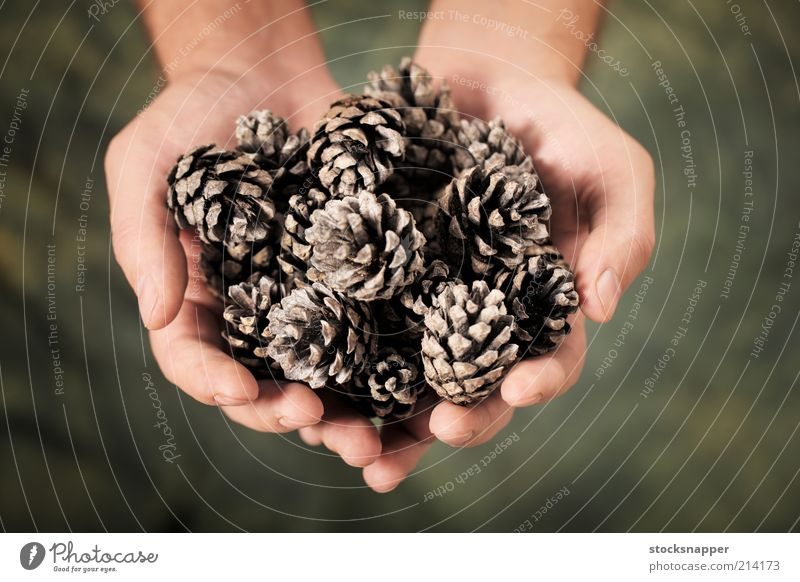 Pine Cones pine cone pine cones hands cupped Hand holding holds Nature Natural Object photography