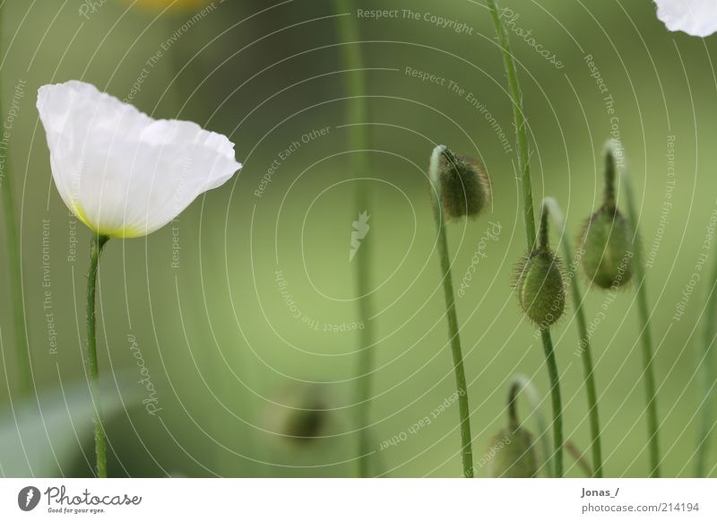 Nature White Flower Green Plant Summer Joy Leaf Meadow Blossom Elegant Environment Poppy Growth Leisure and hobbies