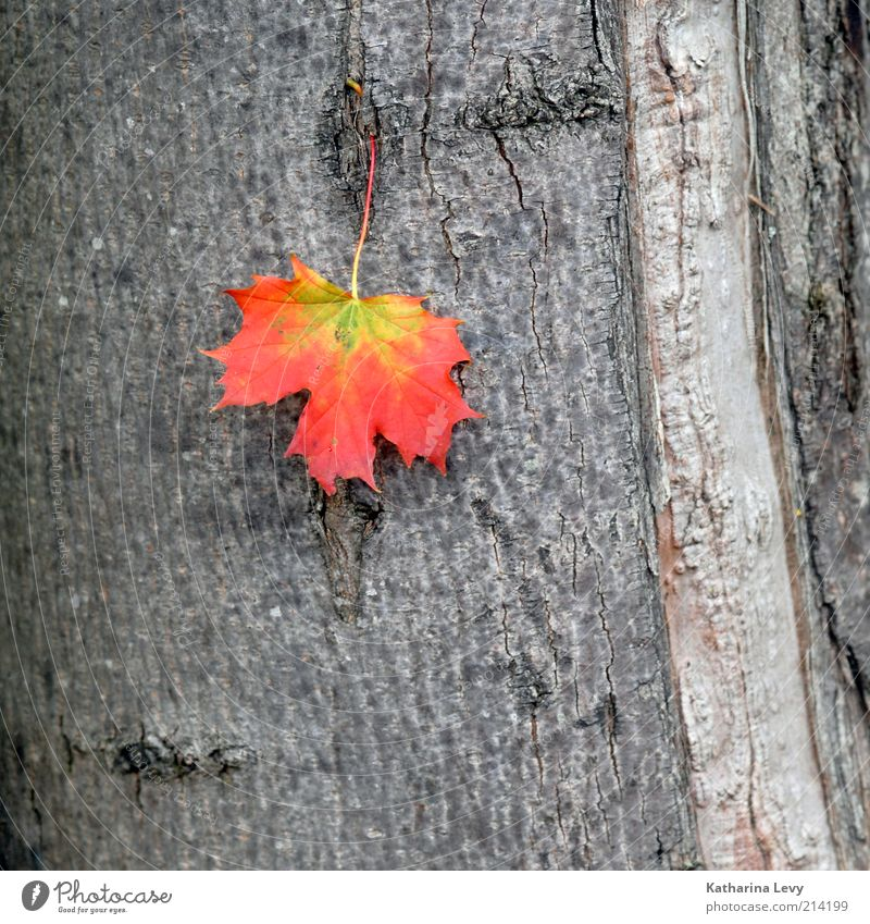 new season Nature Plant Tree Leaf Old Authentic Natural Yellow Gray Red Inspiration Decline Transience Change Time Autumn Tree bark Tree trunk Colour photo