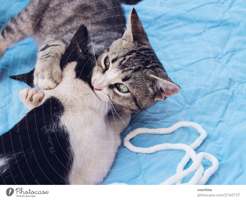 Two cats playing together Cat Blue Beautiful White Animal Joy Black Baby animal Funny Playing Gray Moody Together Friendship Wild Pair of animals