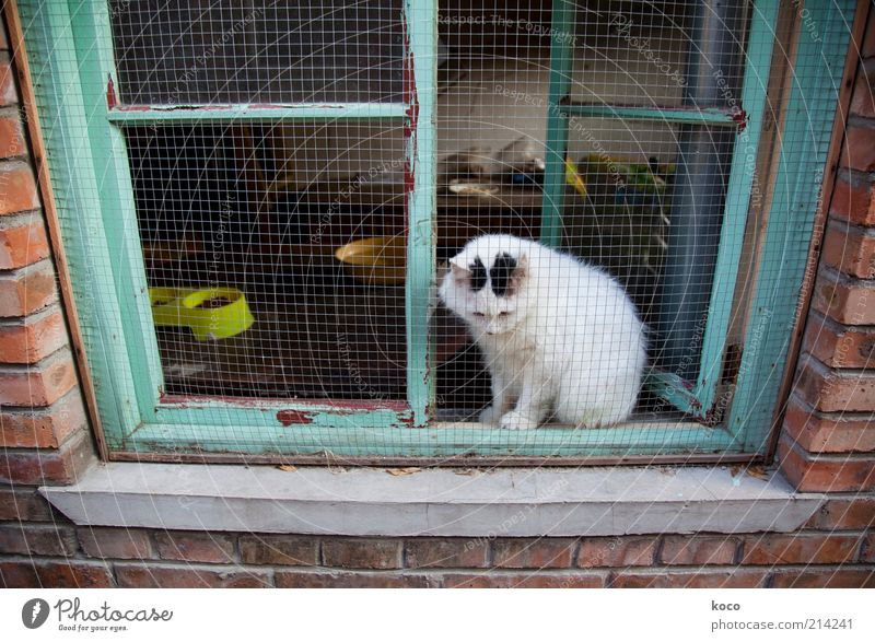 Chinese lucky cat? China Asia Old town Wall (barrier) Wall (building) Window Pet Cat 1 Animal Sit Poverty Green Red White Love of animals Sadness Longing